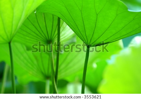 The texture of lotus leaves under sunshine viewing from bottom - stock photo