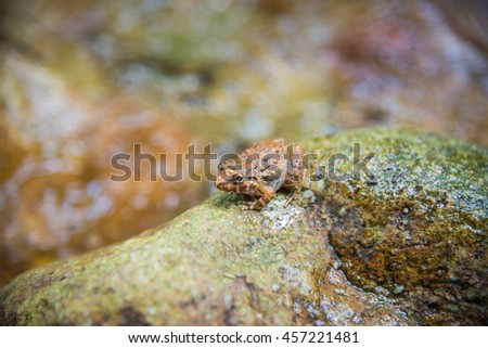 The Thai Waterfall Frog, Found in Khao Yai National Park in Thailand.  - stock photo
