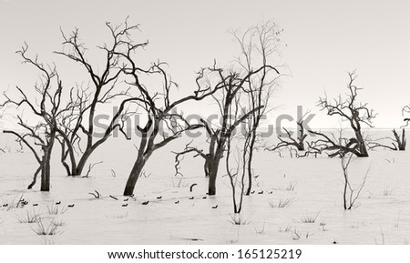 The The lakes lie in the far west region of New South Wales, Australia, near the town of Menindee. Dead trees amongst seasonal water. - stock photo
