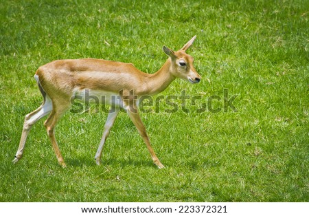 The Thomson's gazelle (Eudorcas thomsonii) is one of the best-known gazelles standing on green grass field - stock photo