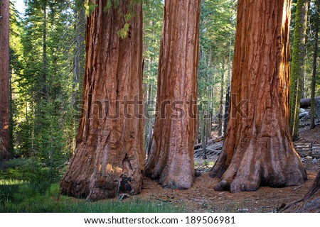 The Three Graces in Mariposa Grove of giant redwoods, Yosemite National Park, California. - stock photo