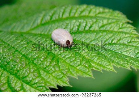 The tick sits on a green leaf in the forest - stock photo