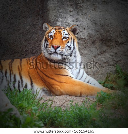The Tiger. - stock photo