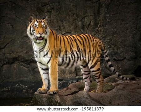 The tiger Asia. - stock photo