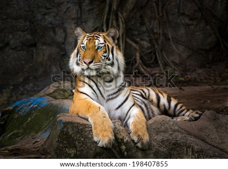 The tiger Asia. - stock photo
