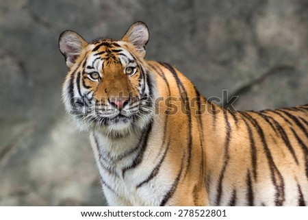The tiger is starring to something. - stock photo