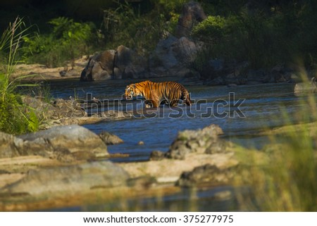 The tiger male shower and stream in the nature. - stock photo