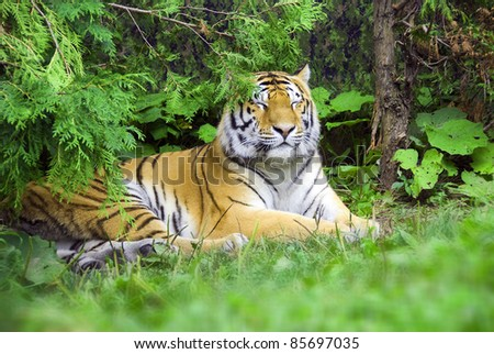 """The tiger Panthera tigris a member of the Felidae family, is the largest of the four """"big cats"""" in the genus Panthera. The tiger is native to much of eastern and southern Asia, and is an apex predato - stock photo"""