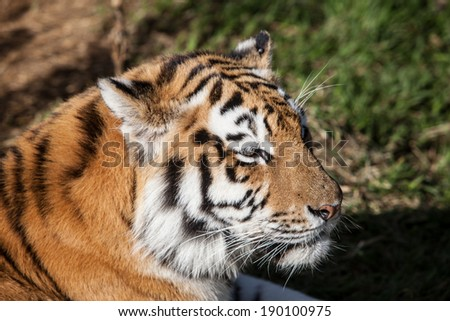 The tiger (Panthera tigris) is the largest cat in the world and can weigh up to 850 lbs. They are disappearing from the wild throughout their world due to habitat loss and poaching.
