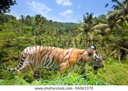 The tiger stolen on a track - stock photo