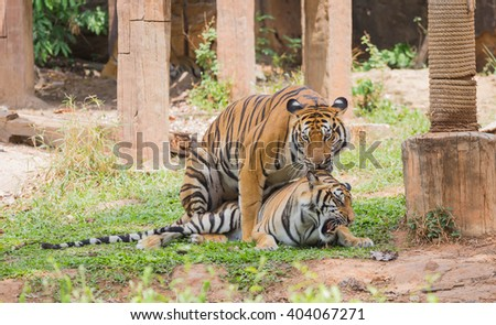 The tigers breeding on the lawn in the zoo. - stock photo