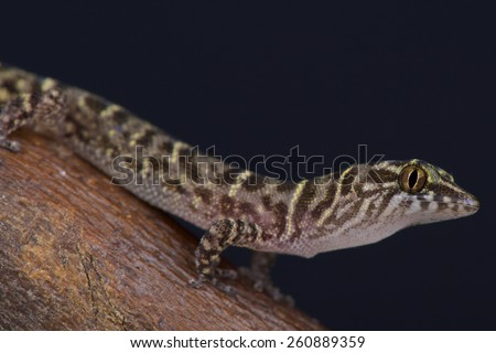 The tiny, dwarf gecko species, Island Least Gecko (Sphaerodactylus sputator) is endemic to the Lesser Antilles in the Caribbean.