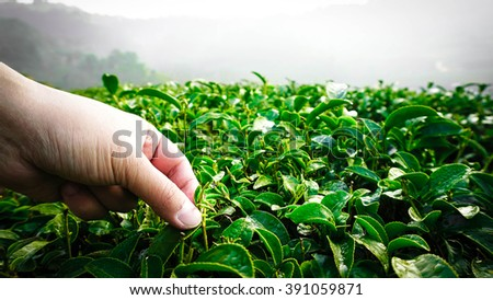 The Tip of A Green Tea Leaf is Being Plucked by Hand from Tea  Plantation on Hillside in Thailand in the Morning - stock photo