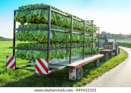 The tobacco harvest is transported on a tractor trailer, rural landscape background - stock photo