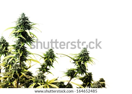 The top of marijuana plant isolated over white background - stock photo