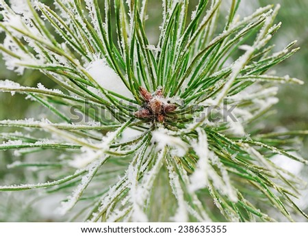 The top of the pine branch with snowflakes on the needles - stock photo