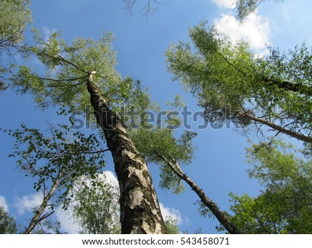 The tops of birch trees on a blue summer sky