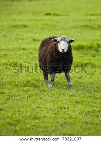 the traditional white faced herdwick sheep of the cumbrian lakeland in england, uk. - stock photo