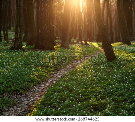 The trail in the flowered spring forest, nature background - stock photo