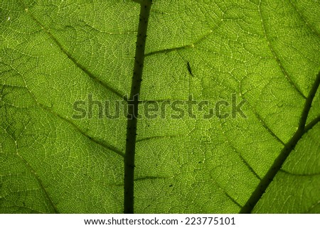 The translucent underside of a giant leaf showing the pattern of the veins from a forest in Ireland is dimly lit from the sky above. - stock photo