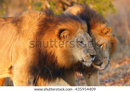 The Transvaal lion (Panthera leo krugeri), also known as the Southeast African lion or Kalahari lion, communication between two adult males forming coalition