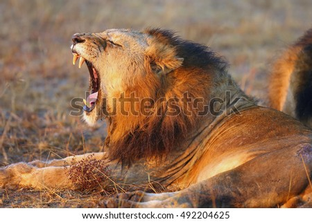 The Transvaal lion (Panthera leo krugeri), also known as the Southeast African lion or Kalahari lion, yawning adult male