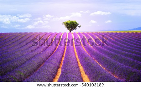 The tree in the lavender field in Valensole, Provence, France, Europe.