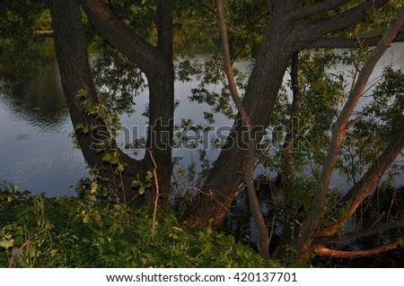 the tree in the rays of the setting sun on the river