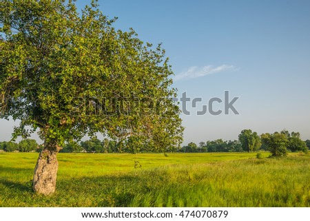 The tree in the rice field