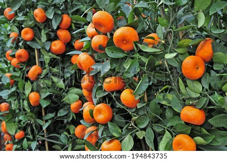 The tree mature orange