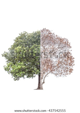 The tree was burned to death in half and the other half are still alive luxuriant green foliage. And repair the damage As the human body to heal the damage. This has isolated with clipping path. - stock photo