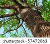 The trunk of old oak tree - stock photo