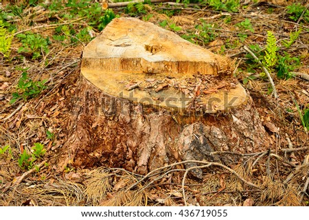The trunks of trees after cutting on felling