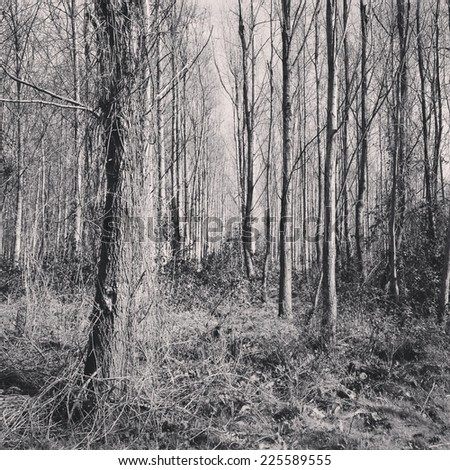 The trunks of trees in grassy woodland with their branches bare of leaves. - stock photo
