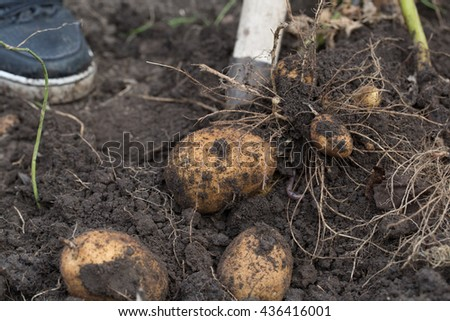 The tubers of potatoes lying in the ground photo for you - stock photo