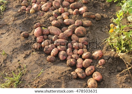 The tubers on the ground