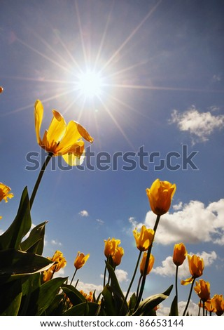 The Tulip and the Sun