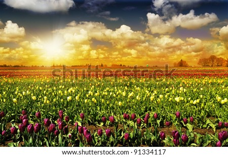 The Tulip Field in Oregon during  Sunset - stock photo
