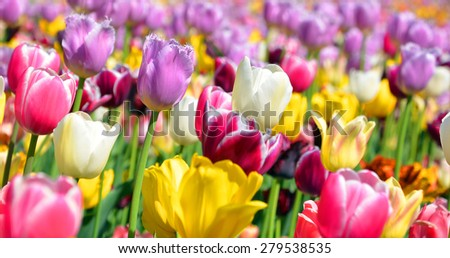 The tulip is a perennial, bulbous plant with showy flowers in the genus Tulipa, of which up to 109 species - stock photo