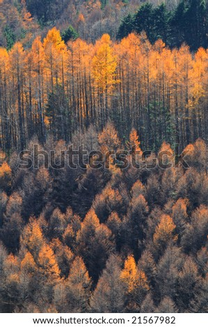 The turning yellow of the Japanese larch which is brilliant in gold(HDR) - stock photo