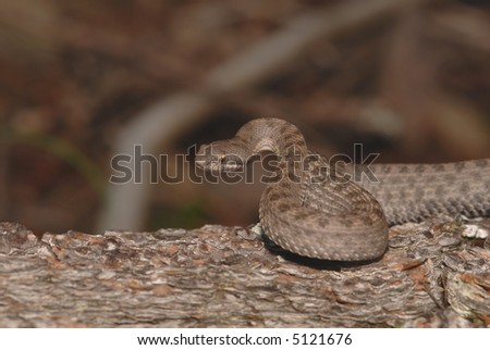 The twin-spotted rattlesnake is a protected species in Arizona. - stock photo