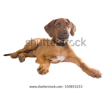 The two-month puppy Rhodesian Ridgeback lying on white background