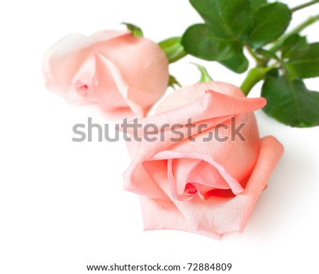 The two roses are isolated on a white background - stock photo