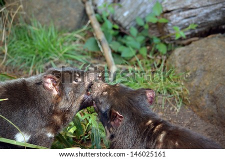 the two tasmanian devils are having a fight - stock photo