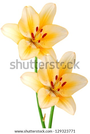 The two yellow lily branches - stock photo