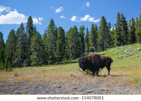 The typical American Bison in the Yellowstone National Park in USA - stock photo
