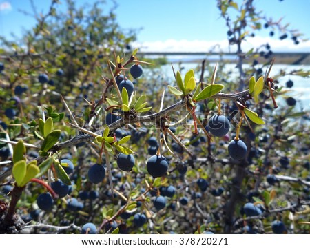 the typical blue berry el calafate in argentinian patagonia - stock photo