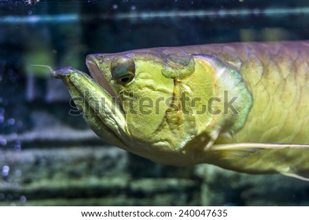The underwater world. Arakony head closeup. Bright Exotic Tropical coral fish in the Red Sea artificial environment of the aquarium with corals and algae aquatic plants - stock photo