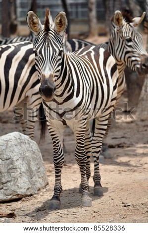 The unique stripes of zebras make these among the animals most familiar to people. - stock photo