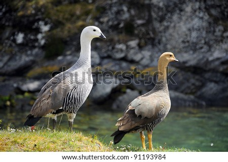 The Upland Goose or Magellan Goose (Chloephaga picta) is a South American member of the duck, goose and swan family Anatidae. It is in the shelduck subfamily, Tadorninae. - stock photo